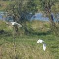 Great egrets (Ardea alba) fly over Lancaster Lake.- Ridgefield National Wildlife Refuge