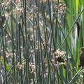Unidentified warblers in the reeds of Red Wing Pond.- Dr. Rod Coler Audubon Nature Trail