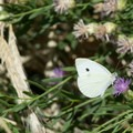 Cabbage white (Pieris rapae).- Dr. Rod Coler Audubon Nature Trail