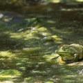 American bullfrog.- Dr. Rod Coler Audubon Nature Trail