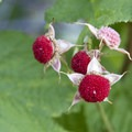 Thimbleberry (Rubus parviflorus).- South Fork of the Payette River, Taylor Springs to Elk Lake