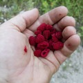 A handful of the delicius Thimbleberry fruit.- South Fork of the Payette River, Taylor Springs to Elk Lake