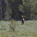 Wildlife can be abundant along the edge of the large meadows.- Bull Moose Creek