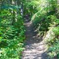 The trail climbs through small alders and Douglas firs.- Kachess Beacon