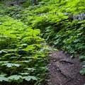 Trail through Devil's Club patch.- Kachess Beacon