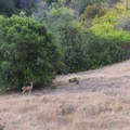 A deer cautiously watches passersby.- Los Peñasquitos Canyon Preserve