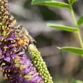 A bee laden with pollen.- Los Peñasquitos Canyon Preserve