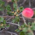 Wild crabapple.- Los Peñasquitos Canyon Preserve