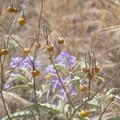 Silverleaf nightshade with berries.- Los Peñasquitos Canyon Preserve