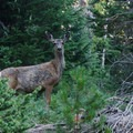 Mule deer along the trail.- Canyon Creek Meadows