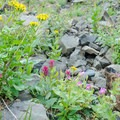 A sampling of the wildflowers to be found along the trail.- Canyon Creek Meadows