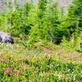 Carpets of white and pink flowers buzzing with activity.- Canyon Creek Meadows