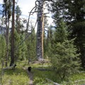 An ancient and long dead ponderosa pine tree along the Queens River Trail.- China Basin to Joe Daley Creek