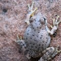 Canyon tree frog (Hyla arenicolor).- Lower Subway Hike