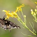 Black swallowtail butterfly (Papilio polyxenes).- Lower Subway Hike