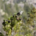 A Clark's nutcracker (Nucifraga columbiana) sits in the top of a white bark pine (Pinus albicaulis). The bird builds huge food caches of tree seeds; excess seeds germinate and create new habitat.- Cramer Lakes + Divide