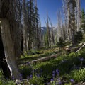 More wildflowers in fire scars from the Trail Creek fire in 2000.- Middle Fork of the Boise River, Leggit Lake