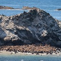 California and stellar sea lions, harbor seals, and elephant seals congregate on Shell Island.- Simpson Reef Overlook