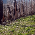 Life returning at the edge of a burnout.- Timberline Trail