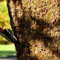 A woodpecker at Silver Lake Park.- Silver Lake Park