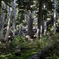 Windfall in the forest surrounding the Heather Lake Trail.- Heather Lake Trail