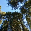 Tall trees.- White River Falls Campground