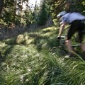 The southern end of Olallie Trail passes through a large area of beargrass.- Olallie Trail
