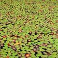 Lily pads on Tahkenitch Lake.- Tahkenitch Lake