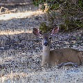 A deer catching some shade along the trail in Rancho San Antonio Open Space Preserve.- Rogue Valley + Wildcat Loop