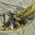 Kelp with mussel shell. - Driftwood Beach State Recreation Site