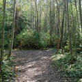 Red alder grove.- Paradise Valley Conservation Area
