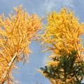 Golden larches in October.- Blue Lake Hike