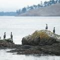 Cormorants rest on a rock near Posey Island.- Posey Island Sea Kayaking