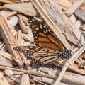 Monarch butterfly (Danaus plexippus).- Monarch Trail Hike