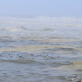 Cormorants in the surf. - Strawberry Hill