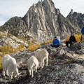 Mountain goats (Oreamnos americanus) and Prusik Peak (8,000') in the Enchantments.- Enchantment Lakes Hike via Snow Lakes