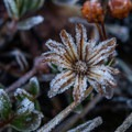Morning frosted flower in the Enchanments.- Enchantment Lakes Hike via Snow Lakes