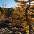 Western larch (Larix occidentalis) and Prusik Peak (8,000') in the Enchantments.- Enchantment Lakes Hike via Snow Lakes