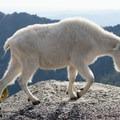 Mountain goat (Oreamnos americanus) in the Enchantments.- Enchantment Lakes Hike via Snow Lakes