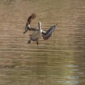 A brown pelican landing on the slough.- Elkhorn Slough