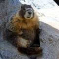 A marmot finds some shade along the Five Lakes Trail.- Five Lakes Trail