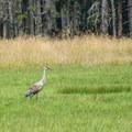 Sandhill cranes (Grus canadensis) in a farm adjacent to Conboy Lake National Wildlife Refuge.- Conboy Lake National Wildlife Refuge