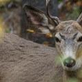 Black-tailed deer (Odocoileus hemionus columbianus).- Enchantment Lakes Hike via Colchuck Lake