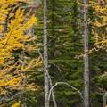 Western larch (Larix occidentalis).- Enchantment Lakes Hike via Colchuck Lake