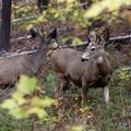 Black-tailed deer bucks (Odocoileus hemionus columbianus).- Enchantment Lakes Hike via Colchuck Lake