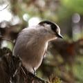 Gray jay (Perisoreus canadensis) at Colchuck Lake.- Colchuck Lake Trail