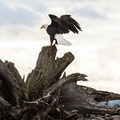 A bald eagle perched on top of a piece of driftwood on the western side of Jetty Island.- Jetty Island Sea Kayaking