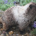 A marmot in Paradise Park on the way to Camp Muir.- Camp Muir Hike