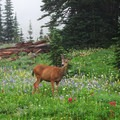 A deer in Paradise Park on the way to Camp Muir.- Camp Muir Hike