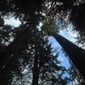 Towering old-growth forest.- Moments in Time Interpretive Trail